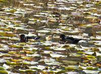 Wood Ducks in Lily Pads