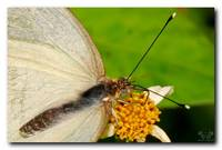 Southern White Butterfly
