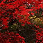 """Red Maple Tree"" by PennyHaviland"