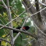 """Red Winged Blackbird"" by MsMelani"