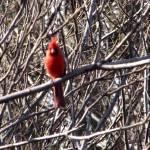 """Cardinal"" by MsMelani"