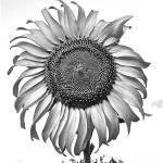 """Black and White Sunflower"" by TaraRayeRusso"