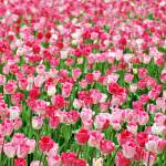 """Pink Field"" by KjWorthing"