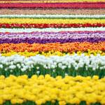 """Rainbow Of Tulips"" by KjWorthing"
