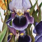 """My Iris Garden - watercolor"" by marygaines"