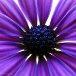 """purple flower"" by i2i"
