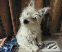 Curious Miss Daisy - West Highland White Terrier