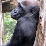 """""""gorilla"""" by i2i"""