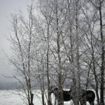 """""""SnowyHorses"""" by RickAcadie"""