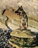 German shepherd on the Rocks