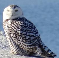 Winter visitor - snowy owl