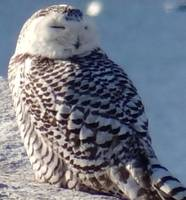 Sleepy snowy owl