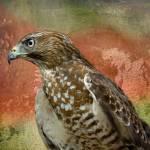 """""""Hawk"""" by tricia"""