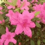 """Azaleas In Bloom"" by bbriboy"