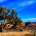 """Desert Juniper"" by RayoDelAlma"