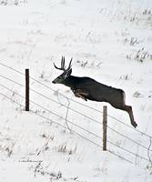 Mule Deer Buck Jumping Fence (verticle)