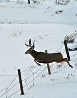 Mule Deer Buck Jumping Fence  #4(verticle)