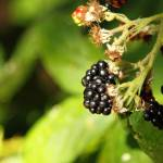 """Blackberry"" by pulen"