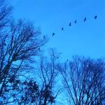 """Geese in Blue"" by christinesachs"
