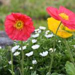 """""""Yellow and Red poppies with white flowers behind"""" by Denalua"""