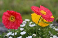 yellow and red poppies 2