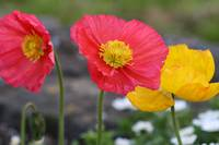 yellow and red poppies 3