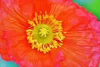 orange poppy up close