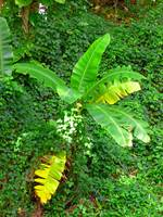 Banana Plant and Vines