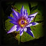 """""""Lotus"""" by ChrisCrowley"""