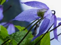 Alpine Clematis Blue Dancer