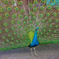 Peacock Art Prints & Posters by Joyce Ballesty