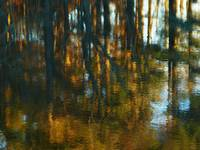 Pine Woods Reflections