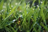 Dew Drop Grass