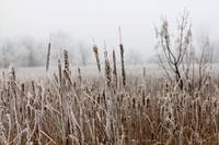 Frosty cattails