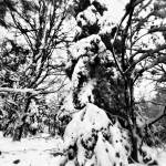 """Trees in Snow"" by scott_speck"