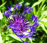 Knapweed wild cornflower