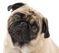 Pug with Tilted Head.