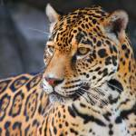 """Leopard"" by kenrainwaterphotography"