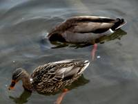Male & Female Mallard Duck Male headundwatDSC02149