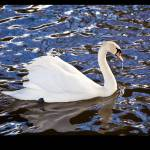 """""""Mute Swan"""" by KVR"""