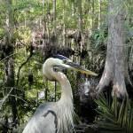 """""""Blue Heron in Brooker Creek"""" by spadecaller"""