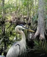 Blue Heron in Brooker Creek