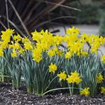 """Daffodils On A Spring Day"" by cvpictures"