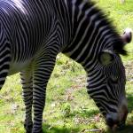 """Zebra Stripes"" by ScottHovind"