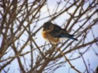 Winter Bluebird 4