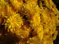 Yellow Mum Bouquet