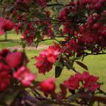 """Red Apple Blossoms"" by ScottHovind"