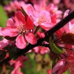 """Red Apple Blossoms 5"" by ScottHovind"