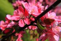 Red Apple Blossoms 5