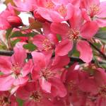 """Red Apple Blossoms 2"" by ScottHovind"